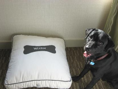 Luke slept like a puppy in his heavenly bed at the Westin in Lombard, IL.